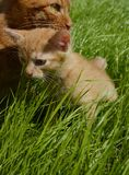 Orange fluffy kitten hiding in the green grass on a summer day. Looks round big big eyes forward. Mama cat guards her kitten and carefully looks around stock photos