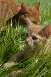 Orange fluffy kitten hiding in the green grass on a summer day. Looks round big big eyes forward. Mama cat guards her kitten and carefully looks around royalty free stock images