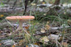 Orange fly agaric, with fluffy ringlet on the white thick stem a Stock Photography