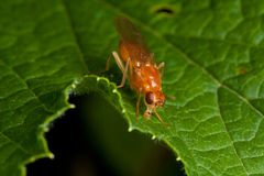 Orange fly on green leaf Royalty Free Stock Photos