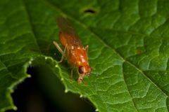 Orange fly on green leaf Stock Photo