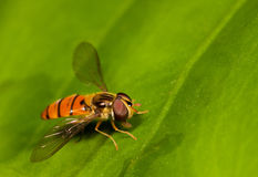 Orange fly on leaf. Orange Fly insect sitting on a large green leaf with very sharp eye detail Stock Images