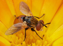Orange  Fly. Royalty Free Stock Photography