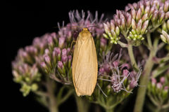 Orange footman moth & x28;Eilema sororcula& x29; on flower Stock Photography