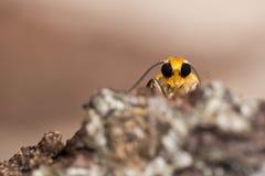 Orange footman moth (Eilema sororcula) head from below Stock Photography
