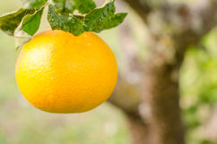 Orange in foreground Stock Photography
