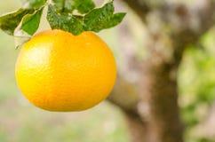 Orange in foreground. Horizontal photo Stock Photography