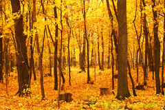 Orange forest. Forest with the orange carpet, orange leaves Stock Photo