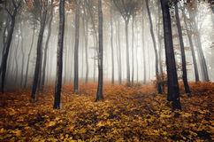 Orange forest in autumn with fog Stock Photography
