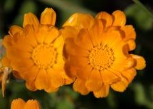 Orange fröjd Arkivfoto