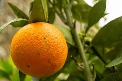 Orange Früchte auf Bäumen mit grünen Blättern Stockbild