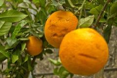 Orange Früchte auf Bäumen mit grünen Blättern Stockbilder