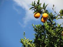 Orange Früchte, die am Baum gegen den blauen Himmel hängen Lizenzfreie Stockfotografie