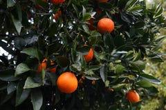 Orange Früchte mit Tropfen des Regens wiegen auf einer Niederlassung stockfotografie
