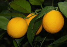 Orange Früchte und Grünblätter Stockfoto