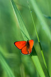 Orange Frühlings-Schmetterling Lizenzfreies Stockbild