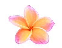 Orange frangipani eller isolerade tropiska blommor för plumeria Royaltyfri Bild