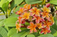 Orange Frangipani flower Stock Photography