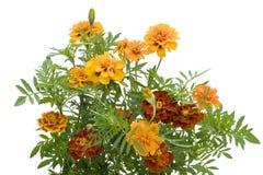 Orange französische Ringelblume getrennt Lizenzfreie Stockfotos
