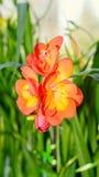 Orange freesia flower, window background, green plant close up Stock Photos