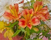 Orange freesia flowers bunch Royalty Free Stock Image
