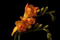 Orange Freesis Blooms on Black Stock Photography