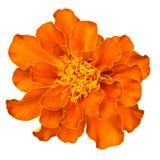 Orange french marigold Royalty Free Stock Photography