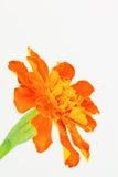 Orange French Marigold Royalty Free Stock Photos