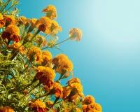 Orange french marigolds Royalty Free Stock Image