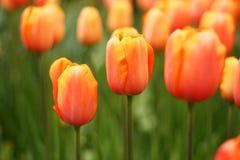 Orange fresh Tulips at the Keukenhof garden Stock Images