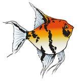 Orange freshwater angelfish Stock Photography