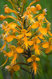 Orange Fringed Orchid Stock Photo