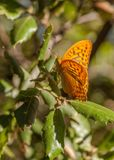 Silverwashed Fritillary Butterfly on oak leaves Royalty Free Stock Photos