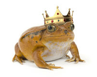 Orange Frog Royalty Free Stock Photos