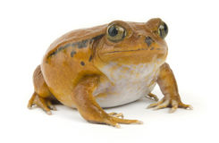 Orange Frog Royalty Free Stock Photo