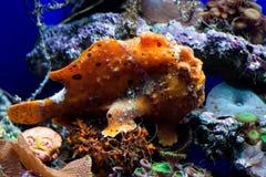 Orange frog fish Royalty Free Stock Photo