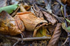 Orange frog Royalty Free Stock Image