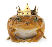 Orange Frog on White Royalty Free Stock Photography