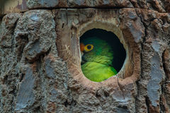 Orange-fronted Conure Royalty Free Stock Photography