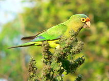 Orange-fronted Parakeet. Eating seeds and flowers (Costa Rica royalty free stock photos