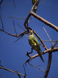 Orange fronted parakeet on a branch Stock Images
