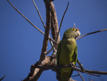 Orange fronted parakeet on a branch Stock Image