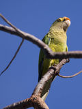 Orange fronted parakeet on a branch Royalty Free Stock Image
