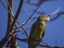 Orange fronted parakeet on a branch Stock Photo