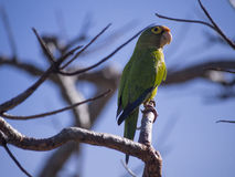 Orange fronted parakeet on a branch Royalty Free Stock Photos