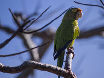 Orange fronted parakeet on a branch Royalty Free Stock Photography