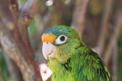 Orange Fronted Parakeet Stock Images