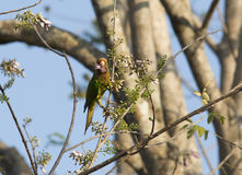 Orange-fronted Parakeet Stock Images