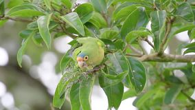 Orange fronted parakeet feeding on a tree in Costa Rica stock video footage