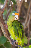 Orange Fronted Parakeet Sitting on a Branch Stock Photography
